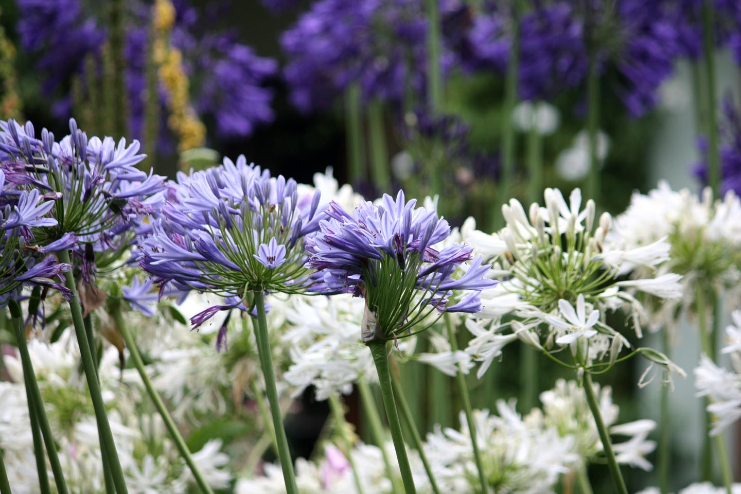 Agapanthus in rows
